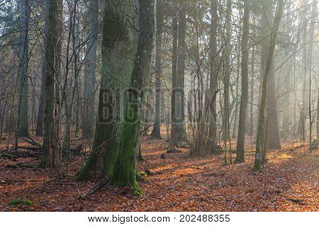Autumnal morning in the forest with mist and oak and hornbeam trees, Bialowieza Forest, Poland, Europe