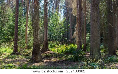 Old coniferous stand in summertime morning with pine and spruce trees, Bialowieza Forest, Poland, Europe