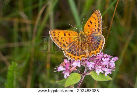 Large Copper (Lycaena dispar) butterfly female closeup in summer, Podlasie Region, Poland, Europe