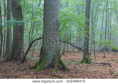 Fresh deciduous stand in summer with broken old oak and misty mixed forest in background, Bialowieza Forest, Poland, Europe