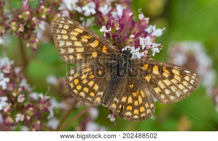 Heath fritillary (Melitaea athalia) butterfly male closeup in summer, Podlasie Region, Poland, Europe
