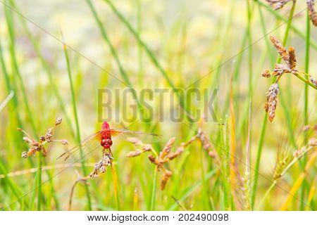 Environment concept background. Red dragonfly resting on a straw, place for text, copyspace