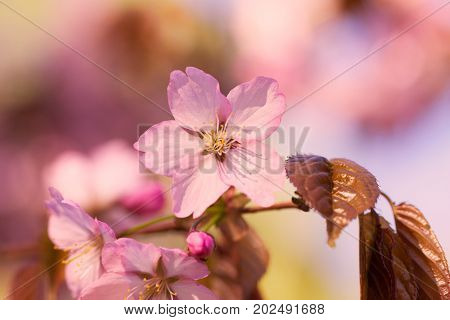 Closeup of beautiful pink sakura flowers. Natural background.