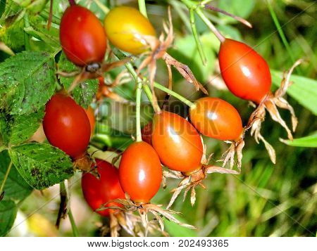 Rosehip fruits in forest of Thornhill Canada September 1 2017