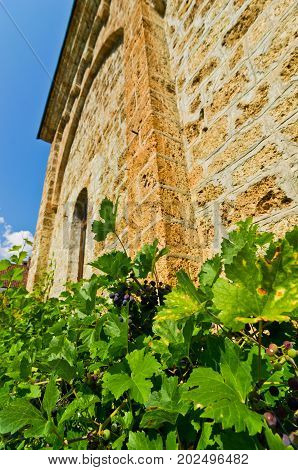 Vine around the wall of Rača monastery established in 13. century, west Serbia