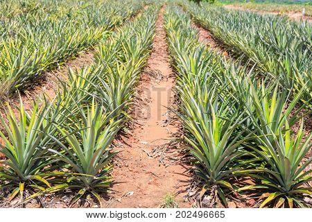 Pineapple (Ananas comosus) fruit plantation in Thailand