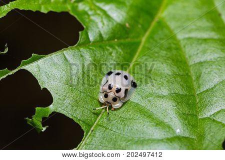 Tortoise Beetle (aspidimorpha Sp.)
