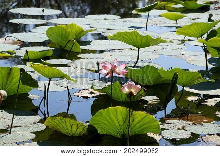 Lotuses field on the lake in a flood plain of the Volga River in the Volgograd region