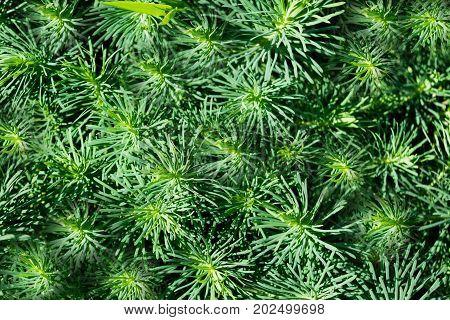 Texture The Cypress Spurge Euphorbia Cyparissias