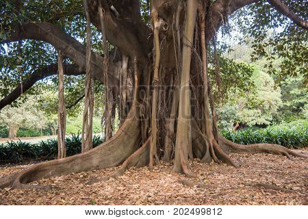 Aerial root system of a large Moreton Bay Fig tree at the Royal Botanic Gardens in Sydney, Australia