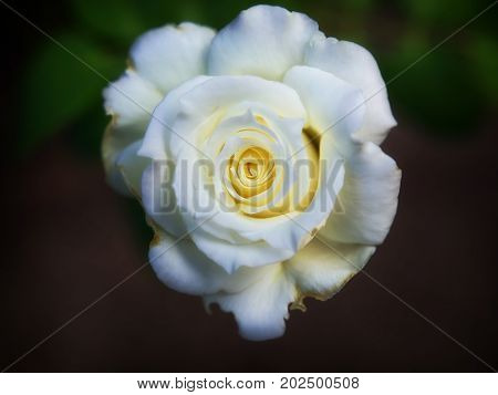 An imperfect white rose on a dark background.