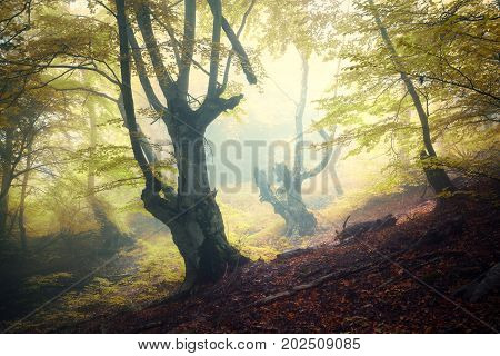 Autumn foggy forest. Mystical autumn forest in fog in the morning. Old Tree. Landscape with trees, colorful green leaves and fog. Nature. Enchanted foggy forest with magical atmosphere. Fall colors