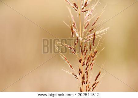 Macro view of golden Prairie Indian Grass.
