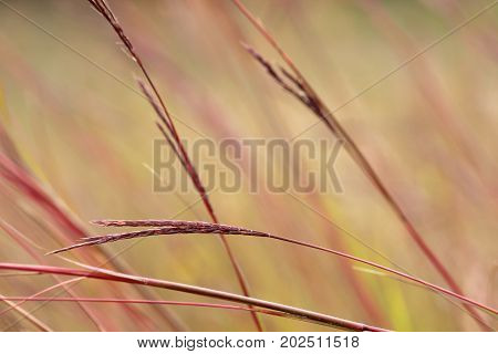 Big bluestem swaying in the wind in fall colors.