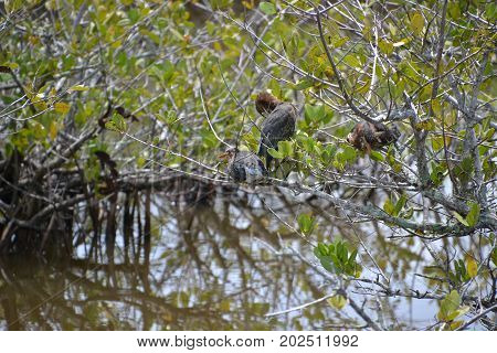 green heron perched in a tree in one of many florida wildlife refuges