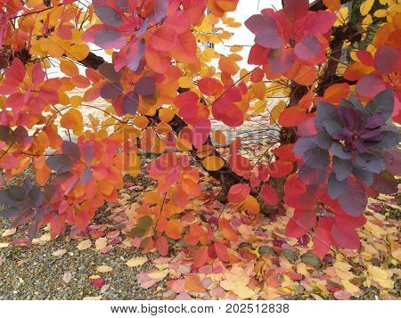 Beautiful branch with red burgundy yellow leaves of a plum tree