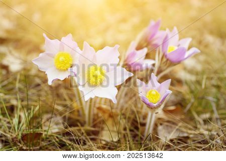 Pasque-flower growing in nature on sunset, macro spring floral background