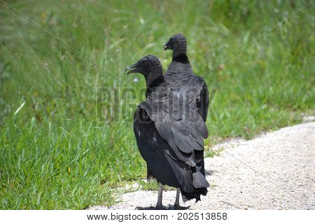 American Black vultures are found from Southeastern united states down to south america