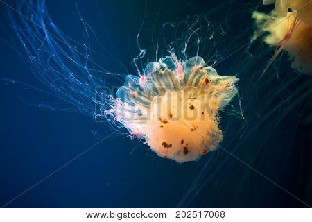 Colorful jellyfish in the natural environment. Blue background.