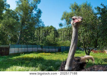 Curious ostrich portrait. Ostrich in outdoor enclosure.
