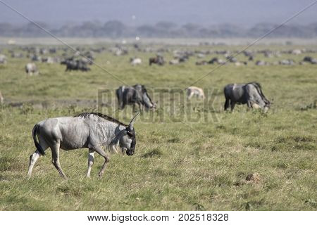Young wildebeest antelope walking along the spawn in the background of the herds of antelopes gazelles and zebras
