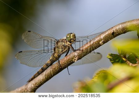 Black Tailed Skimmer Dragonfly perched on a Branch