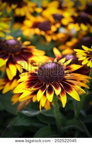 Close up of a vivid yellow and red daisy, Rudbeckia gloriosa, a dazzling flower with a raised conical center inflorescence.