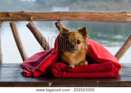 Little cute puppy Chocolate chihuahua black eye sitting under the warm red blanket.