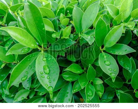 Background of fresh green leaves. Green leaves background. Green background with leaves. Flat lay free space. Natural background