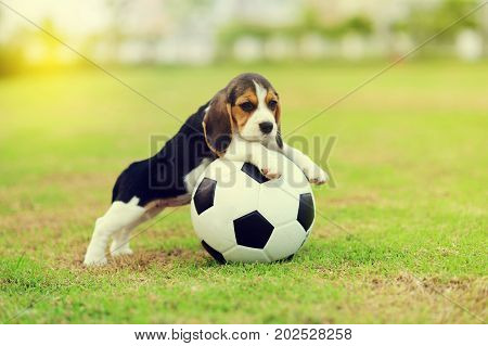 Cute young Beagle playing football in garden