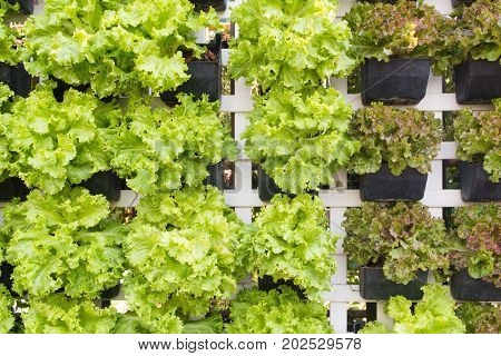 fresh organic lettuce in hydroponic farm or lettuce wall