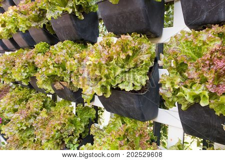 lettuce wall or fresh organic lettuce in hydroponic farm
