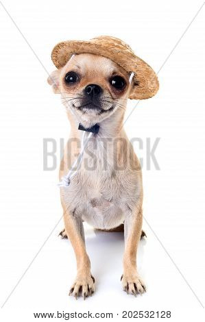 shorthair chihuahua in front of white background