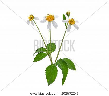 weed flower spanish needles or beggar stick with green leaves isolated on white background