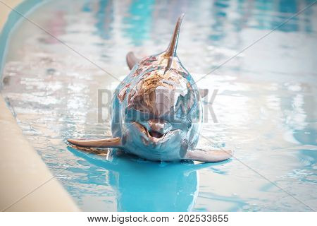 A young Dolphin is smiling and playing in the pool. Posing for photographer.