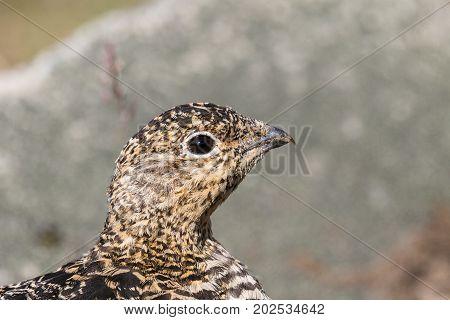 Rock ptarmigan, Lagopus muta, female with summer plumage, close up of head, looking right, Svalbard.