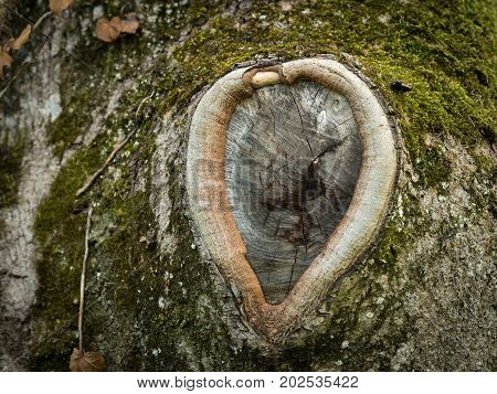 Closeup of a knothole of an old tree in the shape of a heart