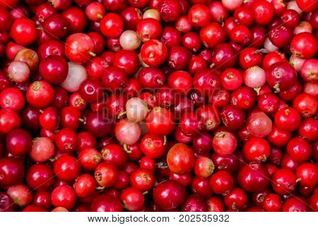 Collected in the forest cranberries. Autumn edible useful berries. Natural food of wild nature, rich in vitamins. Fall season of picking berries in Northern Europe and the tundra.