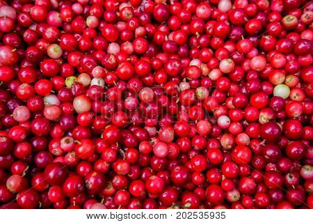 Collected in the cranberries medicinal evergreen. Autumn edible useful berries. Natural food of wild nature, rich in vitamins. Fall season of picking berries in Northern Europe and the tundra.