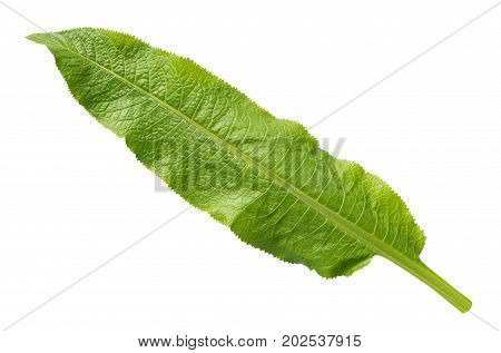 Horseradish Leaf Isolated