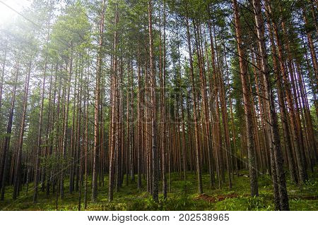 Pines high mystical of evening. The mystical nature of the wild forest. The landscape of Northern coniferous trees with long trunks.