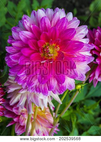 Beautiful pink dahlia Dahlia . Dahlia flower