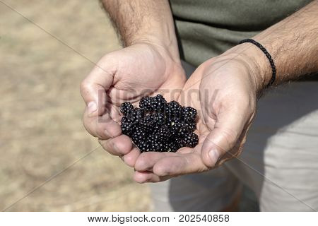 Men's hands hold a wild, ripe blackberry in the palms of their hands