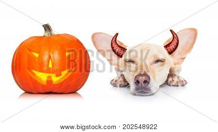 halloween devil dog scared and frightened isolated on white background pumpkin lantern to the side wearing devil ears