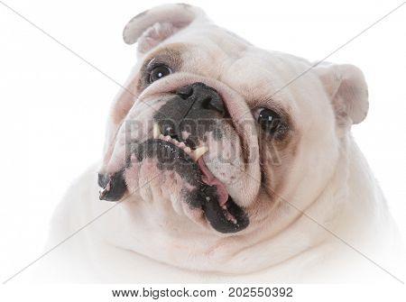 bulldog with tongue hanging out panting