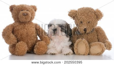 shih tzu puppy tucked between two teddy bears