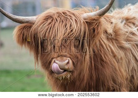 Highland Cow with tongue out and up his nose