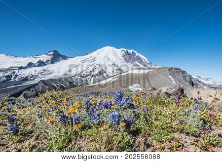 Lupine And Wildflowers In Front Of Rainier