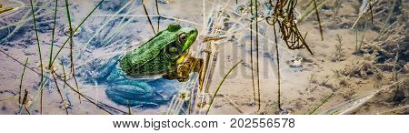 A frog sitting in the warm waters of a Wisconsin pond.