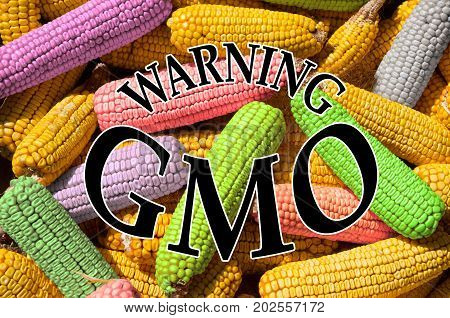 Concept of GMO, presented with corn cobs. Genetically engineered organism.